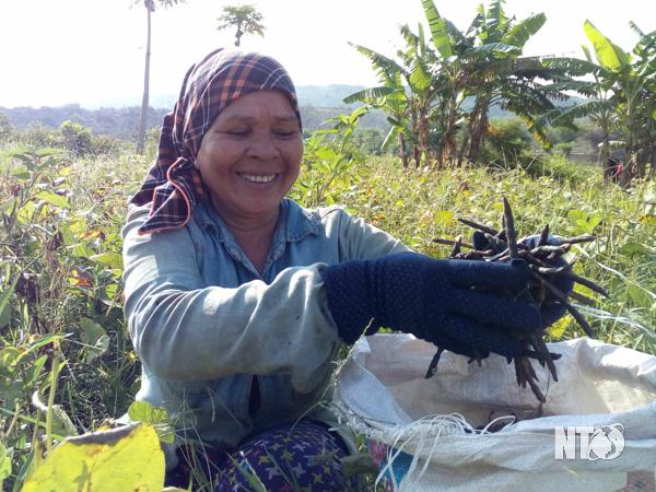 Ninh Thuận: Trồng thư cây xanh um trai chin màu den  - Ảnh 1.