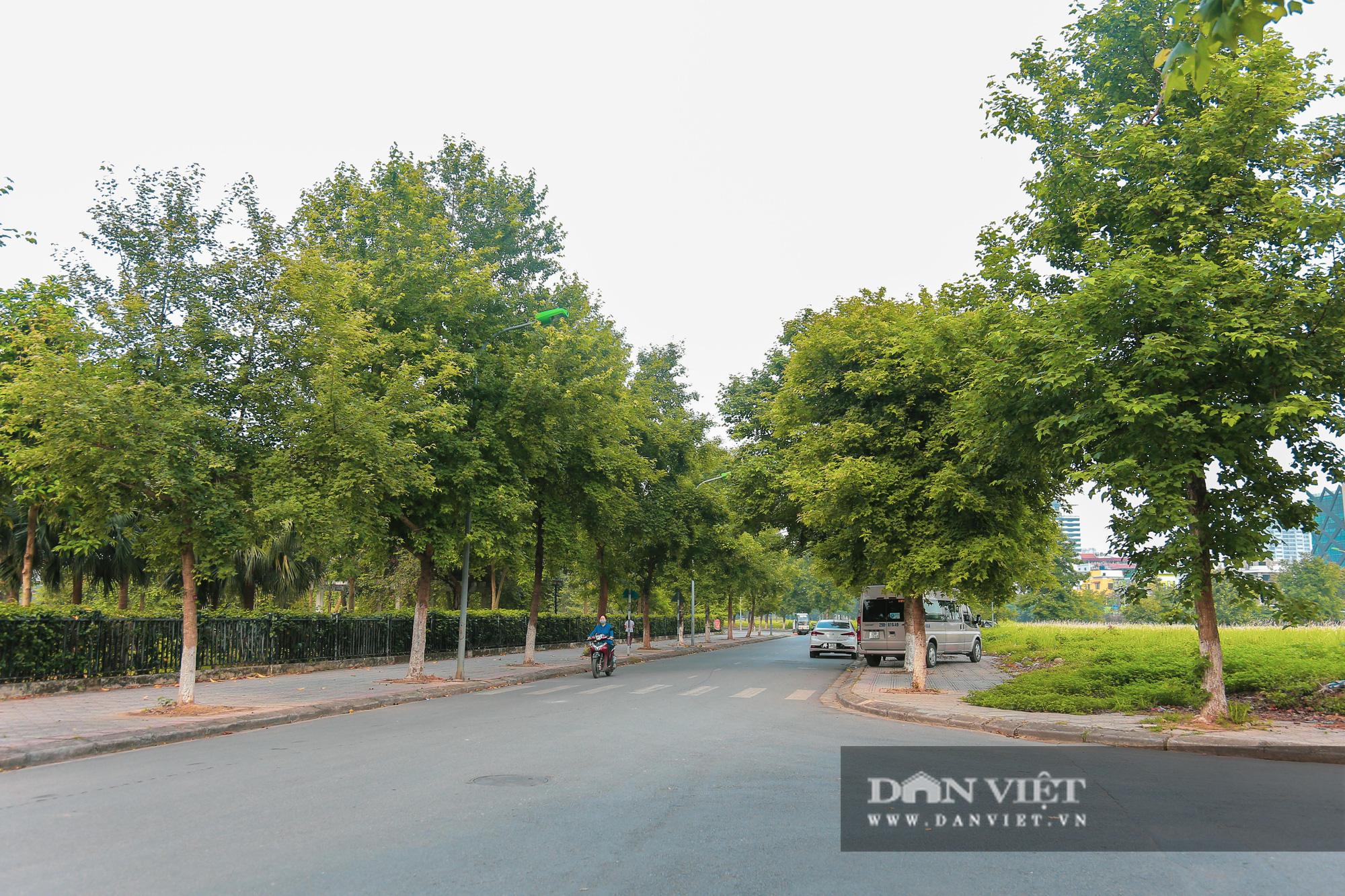 Ngỡ ngàng loài cây giống hệt phong lá đỏ xanh tốt giữa phố Hà Nội - Ảnh 1.