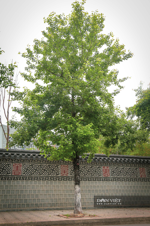 Ngỡ ngàng loài cây giống hệt phong lá đỏ xanh tốt giữa phố Hà Nội - Ảnh 3.