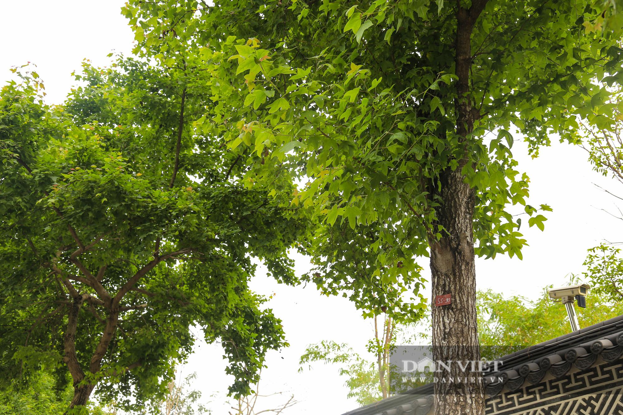 Ngỡ ngàng loài cây giống hệt phong lá đỏ xanh tốt giữa phố Hà Nội - Ảnh 4.
