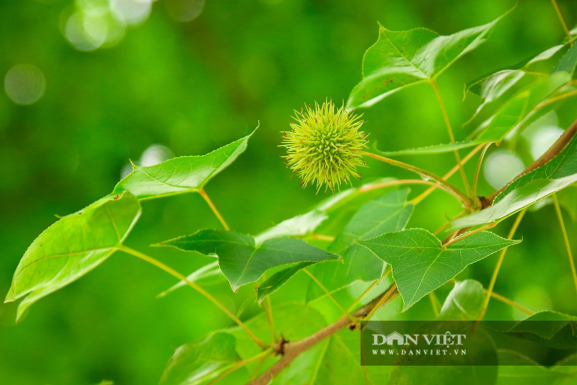 Ngỡ ngàng loài cây giống hệt phong lá đỏ xanh tốt giữa phố Hà Nội - Ảnh 6.