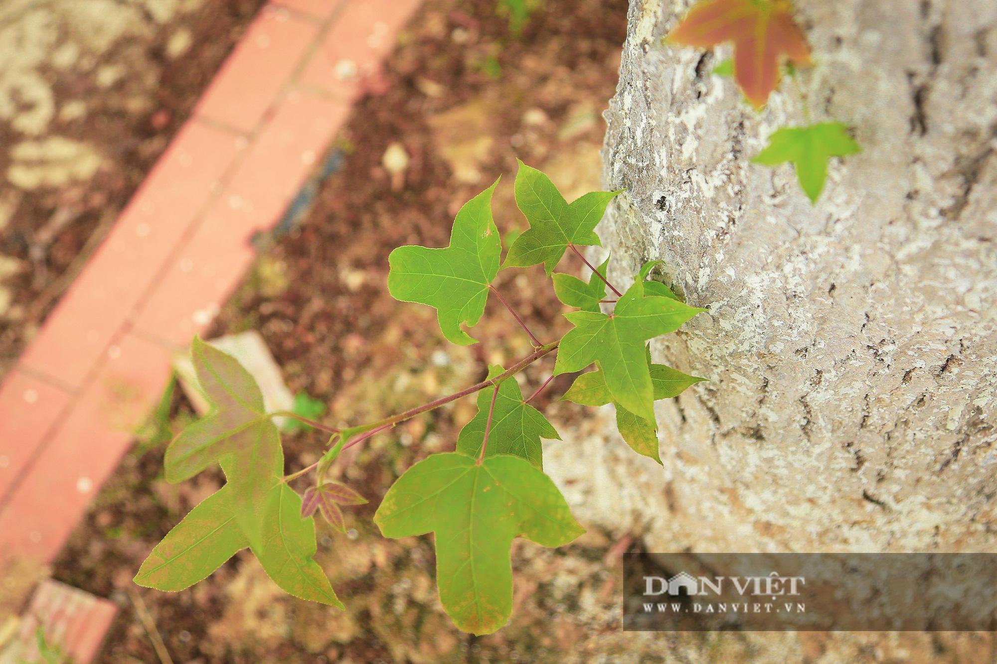 Ngỡ ngàng loài cây giống hệt phong lá đỏ xanh tốt giữa phố Hà Nội - Ảnh 7.
