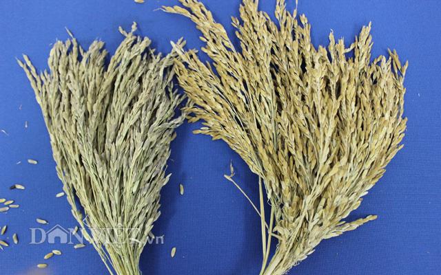 Giống lúa màu SR20 được cải tiến từ các giống lúa màu cổ truyền