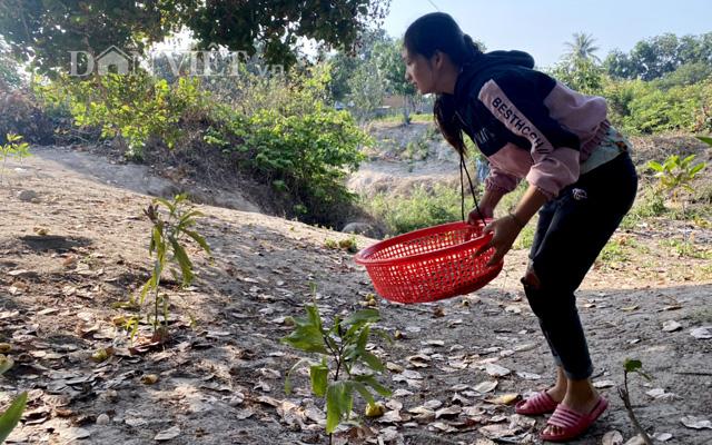 Tài chính hạn hẹp, nông dân thu hoạch điều tươi đến đâu thì bán đến đó để trang trải cuộc sống và nợ nần.