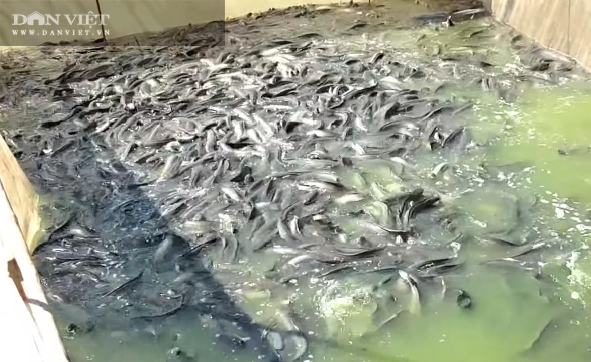 """Giá cá hôm nay 1/5: Cá lóc, diêu hồng mất """"nhiều giá"""", cá tra … tăng nhẹ - Ảnh 1."""