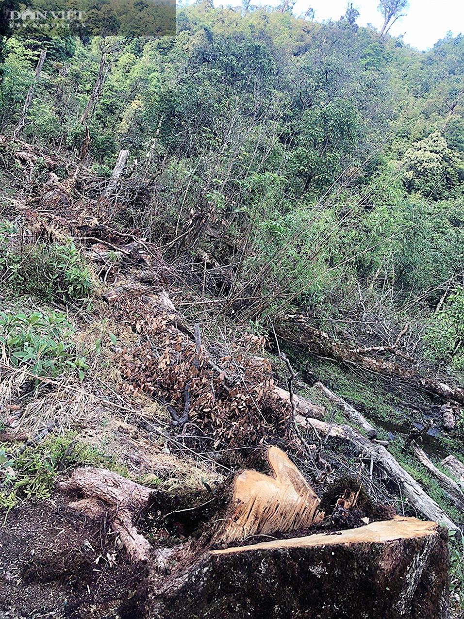 Phá rừng pơ mu VQG Hoàng Liên: Chủ Vườn đã bỏ qua các vấn đề mấu chốt trong báo cáo gửi cấp trên! - Ảnh 10.