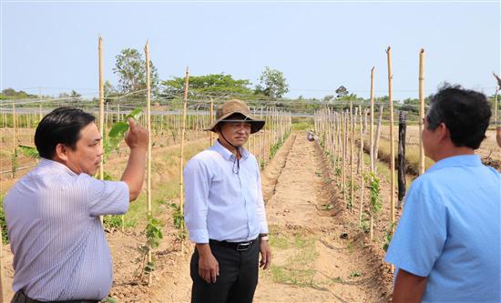 Trà Vinh đang trồng thử nghiệm giống nho gì của tỉnh Ninh Thuận, ăn tươi hay làm rượu vang? - Ảnh 1.