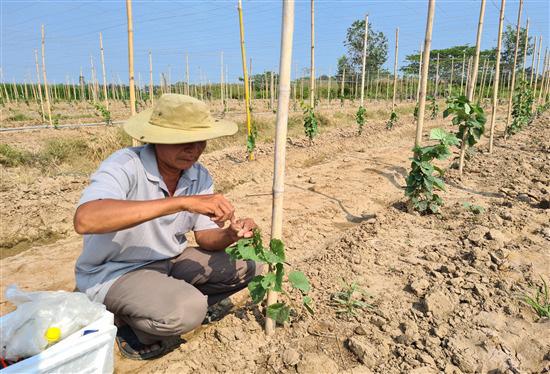 Trà Vinh đang trồng thử nghiệm giống nho gì của tỉnh Ninh Thuận, ăn tươi hay làm rượu vang? - Ảnh 2.
