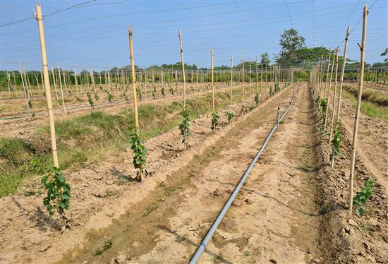 Trà Vinh đang trồng thử nghiệm giống nho gì của tỉnh Ninh Thuận, ăn tươi hay làm rượu vang? - Ảnh 3.