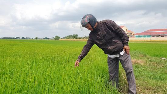 """Tây Ninh: Trồng lúa cả tháng, nông dân mới """"ngã ngửa"""" vì xuất hiện lúa """"hai tầng"""", có cả lúa """"ma"""" - Ảnh 1."""