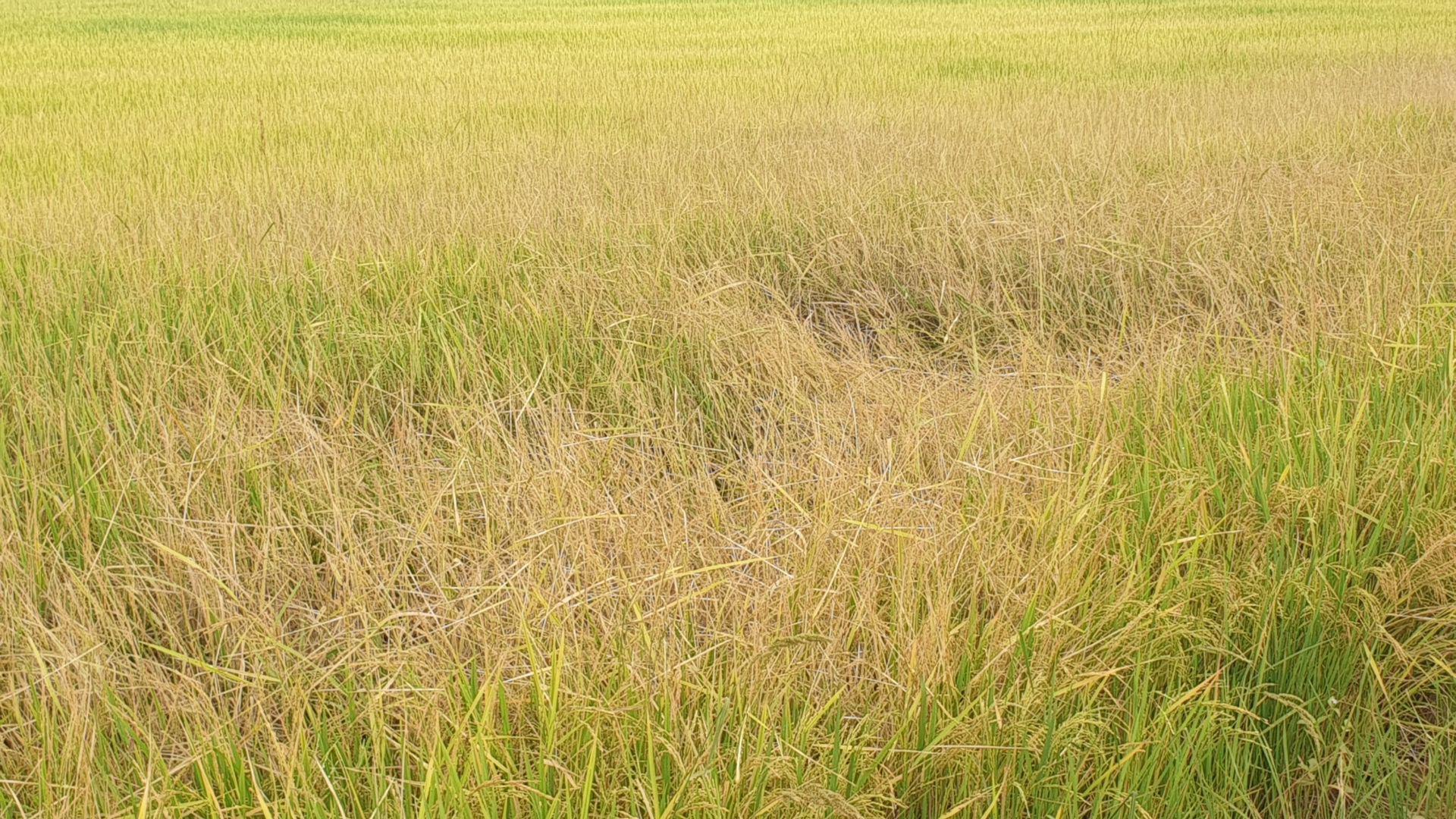 """Tây Ninh: Trồng lúa cả tháng, nông dân mới """"ngã ngửa"""" vì xuất hiện lúa """"hai tầng"""", có cả lúa """"ma"""" - Ảnh 3."""