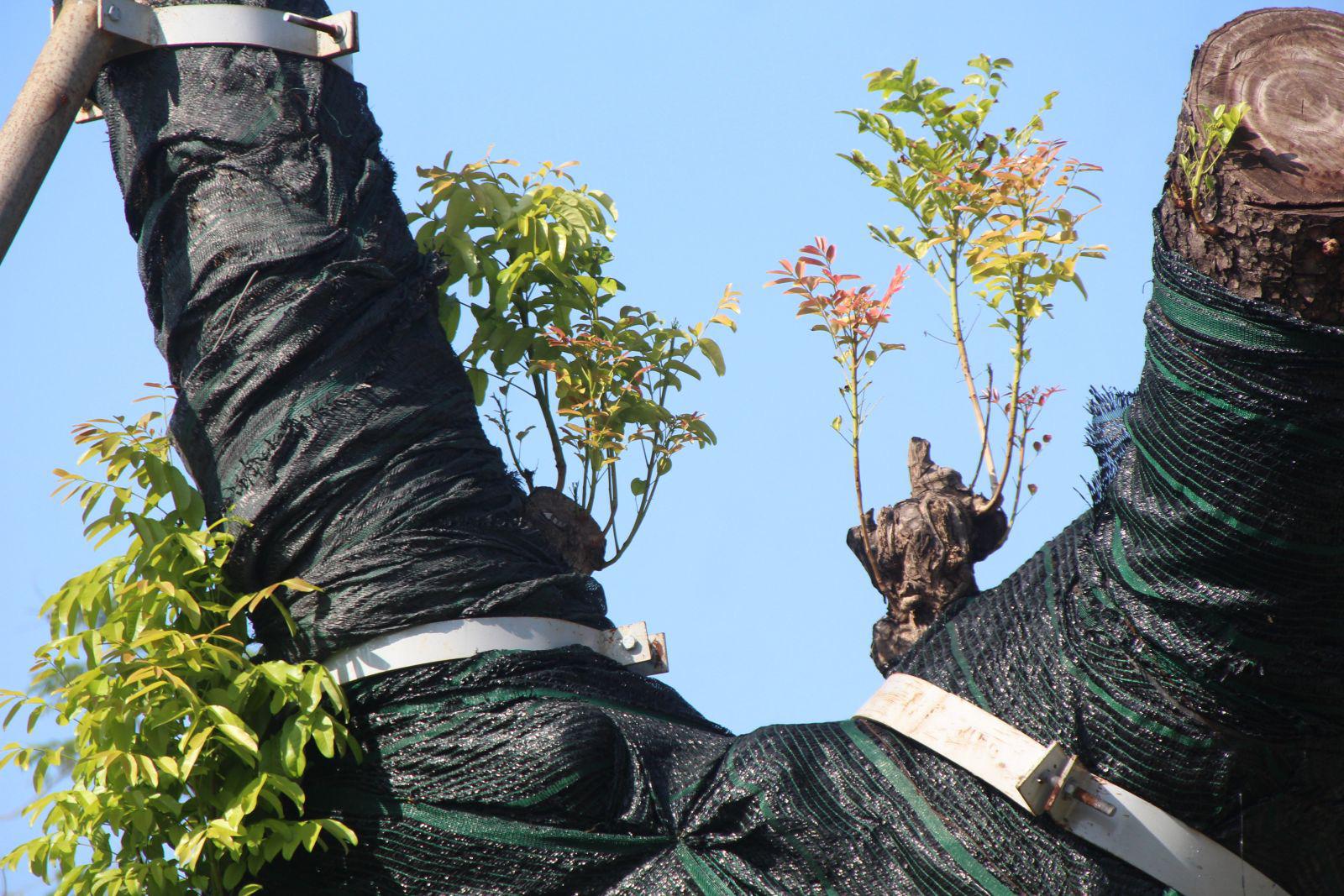 """Trên cả tuyệt vời, sau 5 tháng """"cấp cứu"""", cây xà cừ hơn 100 năm tuổi ở Huế đã mọc đầy chồi biếc - Ảnh 4."""