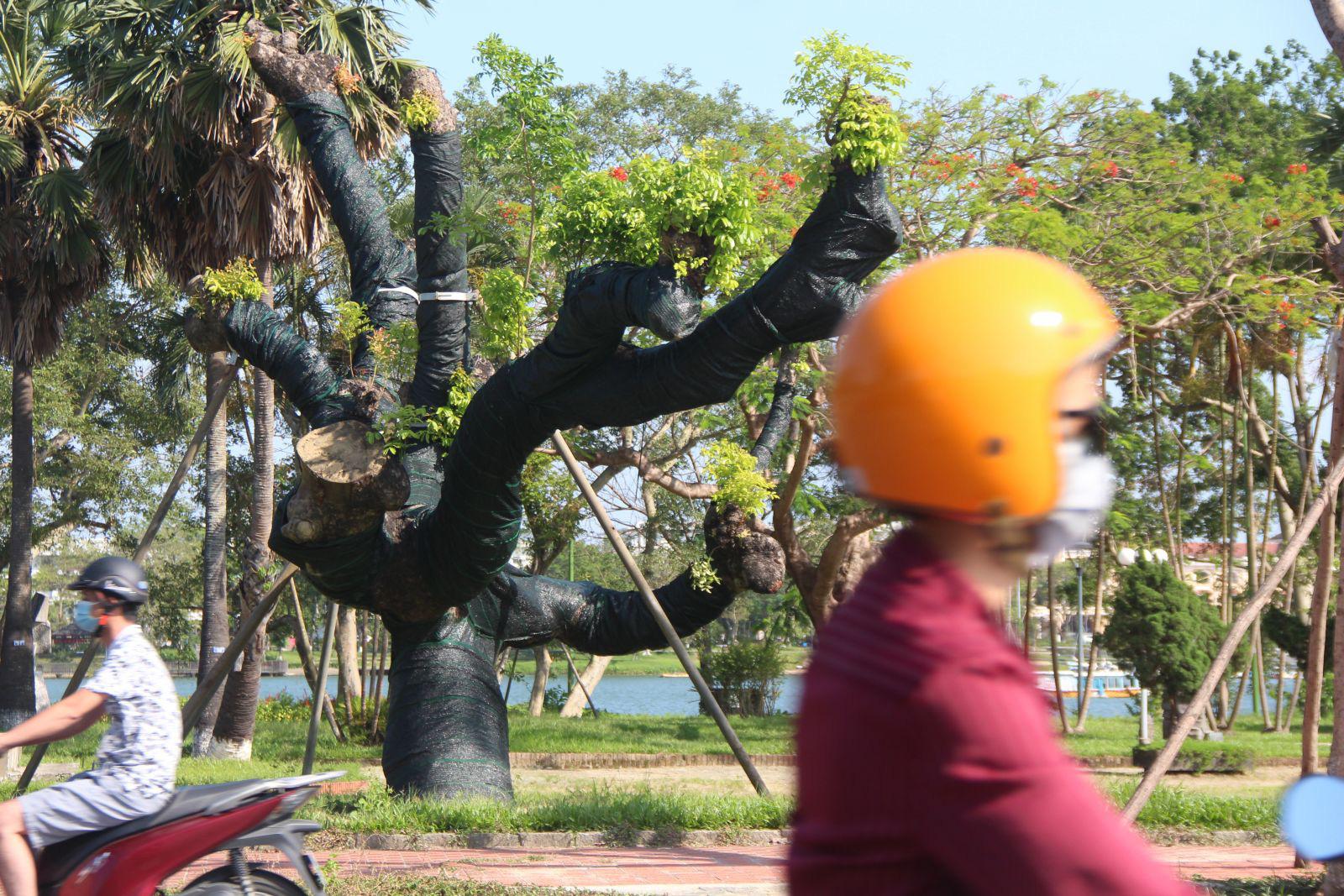 """Trên cả tuyệt vời, sau 5 tháng """"cấp cứu"""", cây xà cừ hơn 100 năm tuổi ở Huế đã mọc đầy chồi biếc - Ảnh 7."""