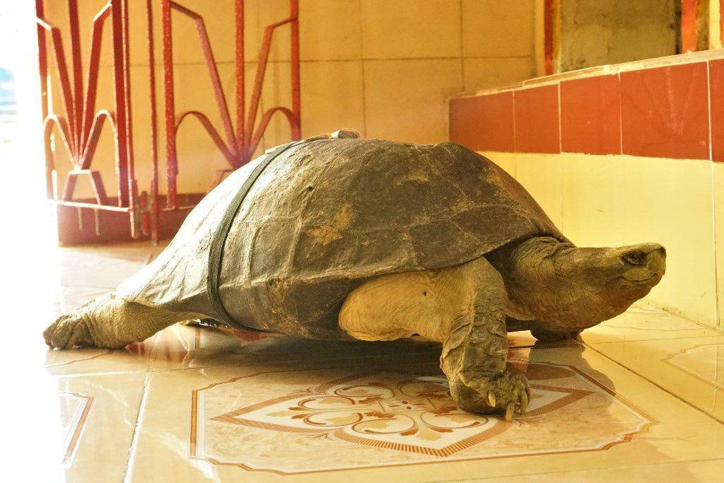 """Lạ kỳ ngôi chùa có những """"cụ"""" rùa trăm tuổi... ăn chay, ngủ mùng - Ảnh 2."""