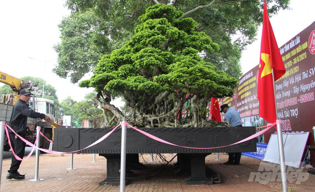 Đăk Lăk: Cây sanh cổ rong rêu phủ đầy có chu vi bộ rễ 10m, cao 3,7m, trả giá nào chủ cũng lắc đầu - Ảnh 1.