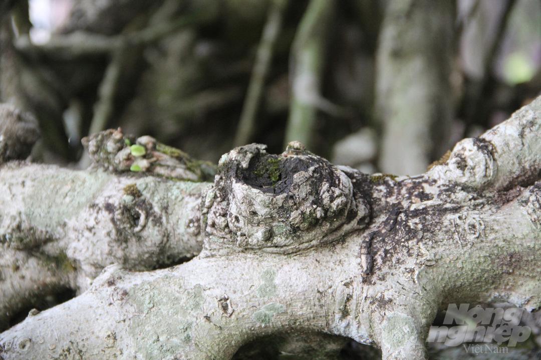 Đăk Lăk: Cây sanh cổ rong rêu phủ đầy có chu vi bộ rễ 10m, cao 3,7m, trả giá nào chủ cũng lắc đầu - Ảnh 11.