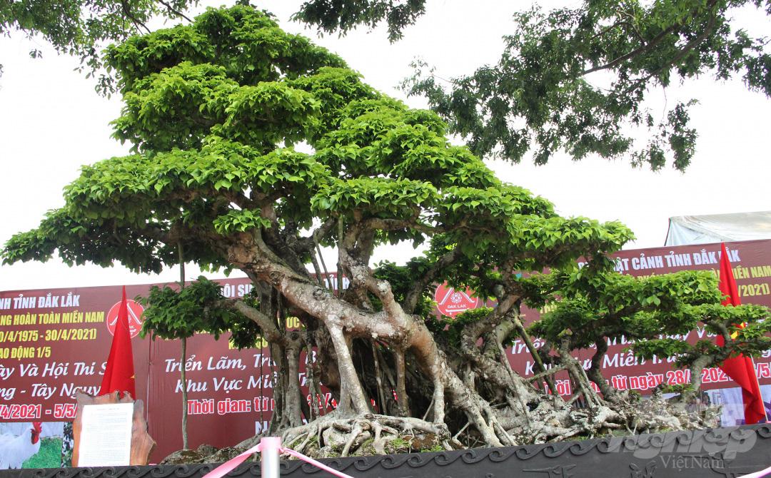 Đăk Lăk: Cây sanh cổ rong rêu phủ đầy có chu vi bộ rễ 10m, cao 3,7m, trả giá nào chủ cũng lắc đầu - Ảnh 13.