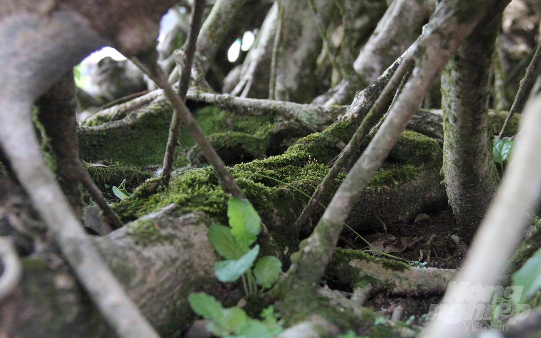 Đăk Lăk: Cây sanh cổ rong rêu phủ đầy có chu vi bộ rễ 10m, cao 3,7m, trả giá nào chủ cũng lắc đầu - Ảnh 3.