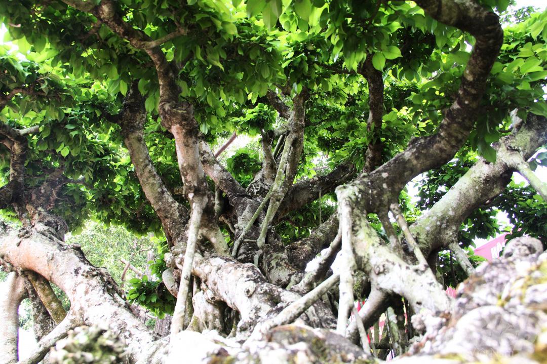 Đăk Lăk: Cây sanh cổ rong rêu phủ đầy có chu vi bộ rễ 10m, cao 3,7m, trả giá nào chủ cũng lắc đầu - Ảnh 5.