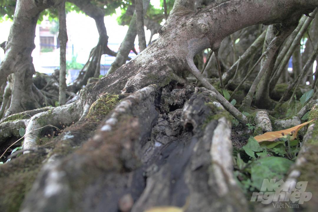 Đăk Lăk: Cây sanh cổ rong rêu phủ đầy có chu vi bộ rễ 10m, cao 3,7m, trả giá nào chủ cũng lắc đầu - Ảnh 6.