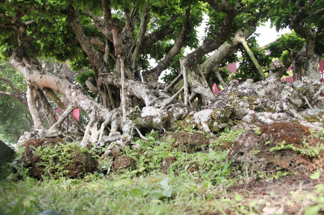 Đăk Lăk: Cây sanh cổ rong rêu phủ đầy có chu vi bộ rễ 10m, cao 3,7m, trả giá nào chủ cũng lắc đầu - Ảnh 7.