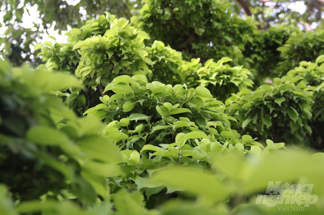 Đăk Lăk: Cây sanh cổ rong rêu phủ đầy có chu vi bộ rễ 10m, cao 3,7m, trả giá nào chủ cũng lắc đầu - Ảnh 8.