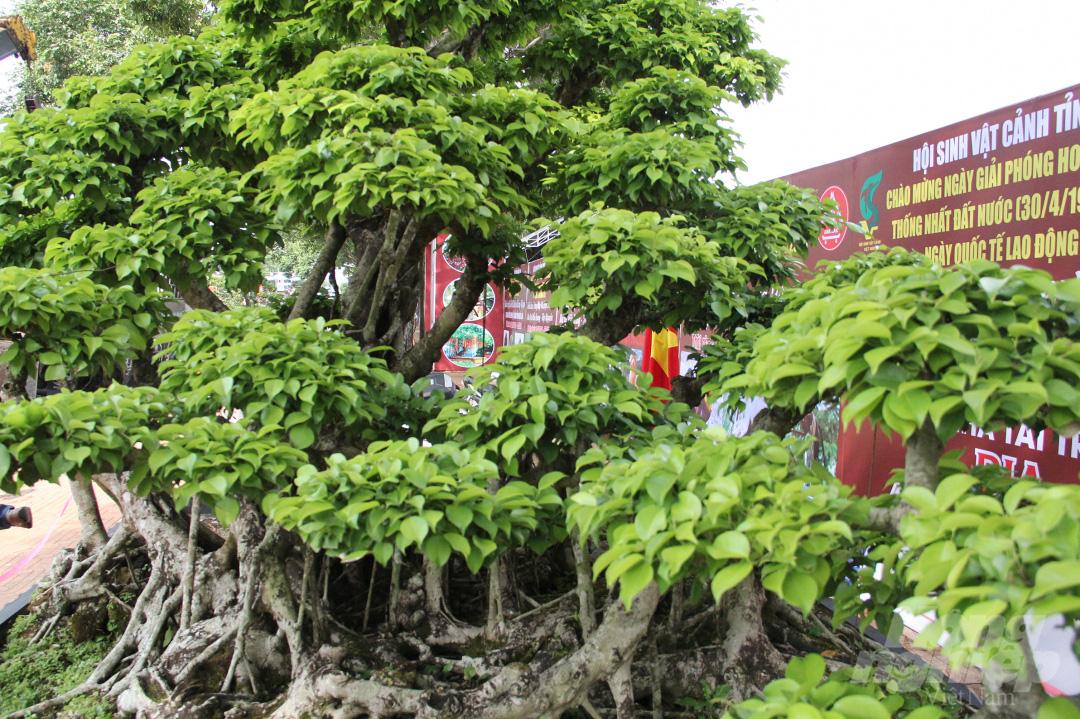 Đăk Lăk: Cây sanh cổ rong rêu phủ đầy có chu vi bộ rễ 10m, cao 3,7m, trả giá nào chủ cũng lắc đầu - Ảnh 9.