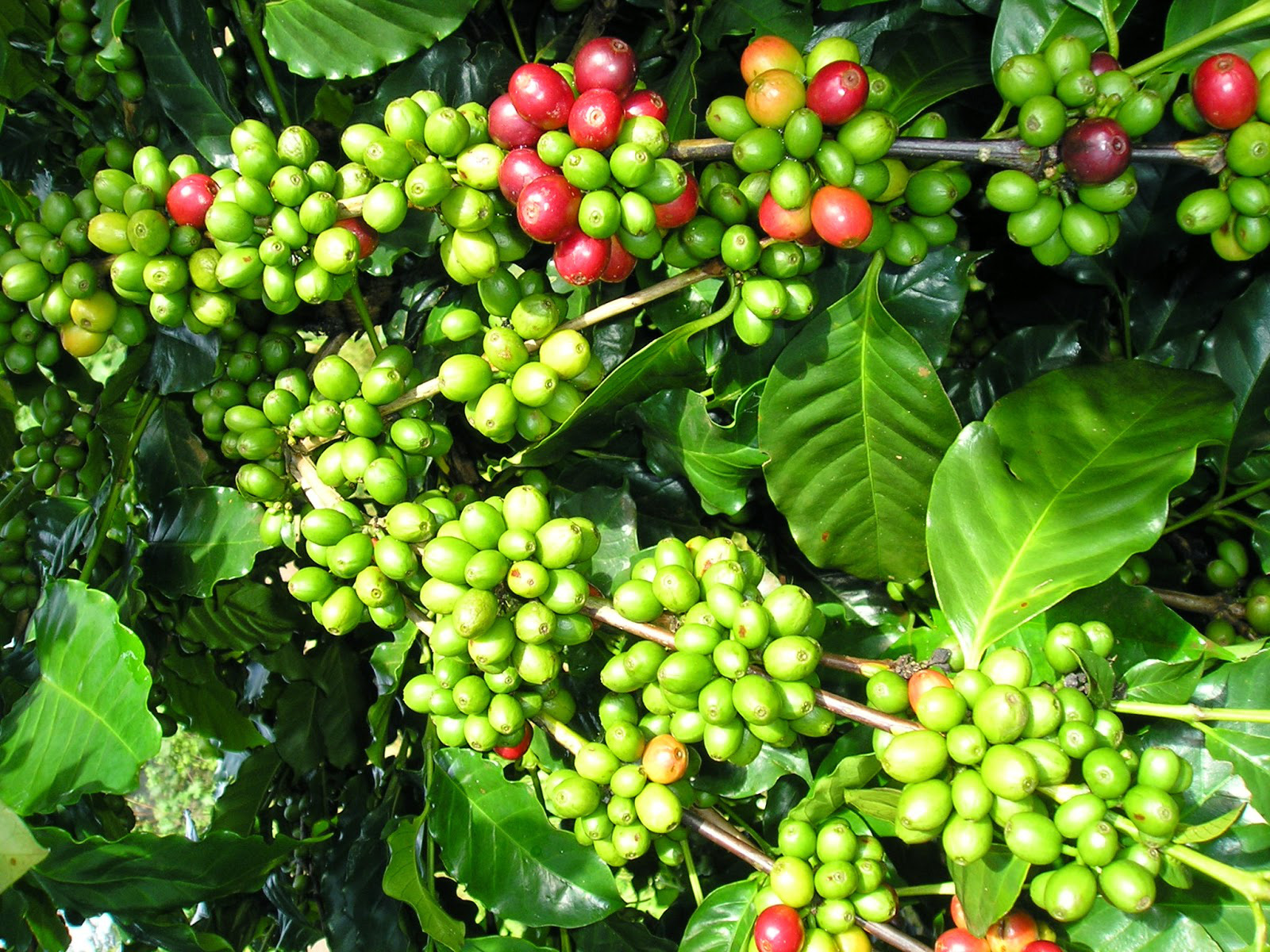 Giá nông sản hôm nay 4/5: Giá tiêu trong nước đi ngang, cà phê Arabica giảm nhẹ - Ảnh 1.