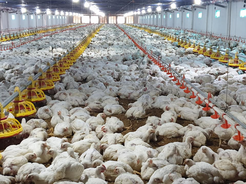 Giá gia cầm hôm nay 4/5: Giá gà công nghiệp tăng nhẹ, người nuôi vịt phía Nam vẫn có lời - Ảnh 2.