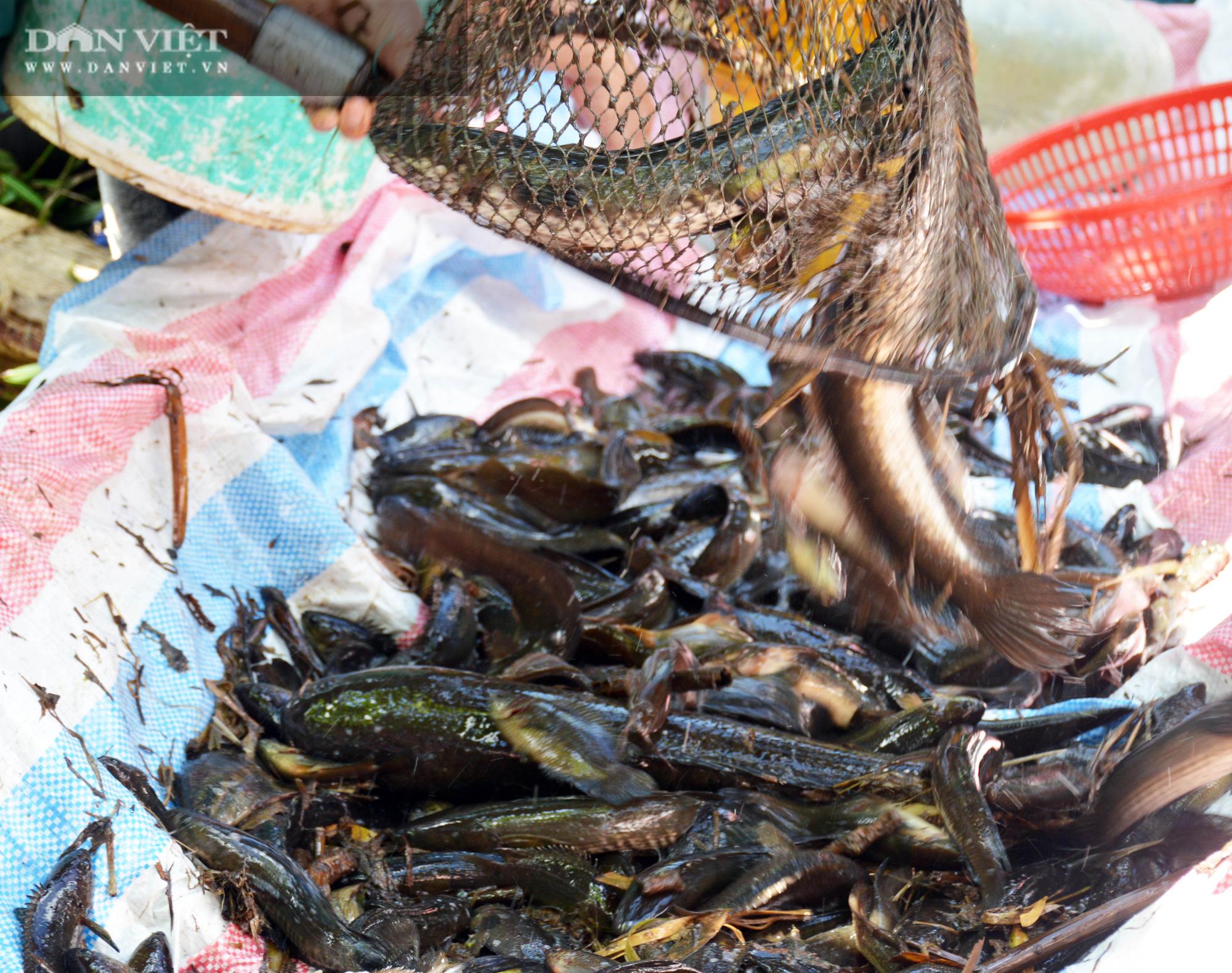 Về vườn quốc gia U Minh Hạ mục sở thị cảnh chụp đìa bắt hàng trăm kg cá đồng - Ảnh 15.