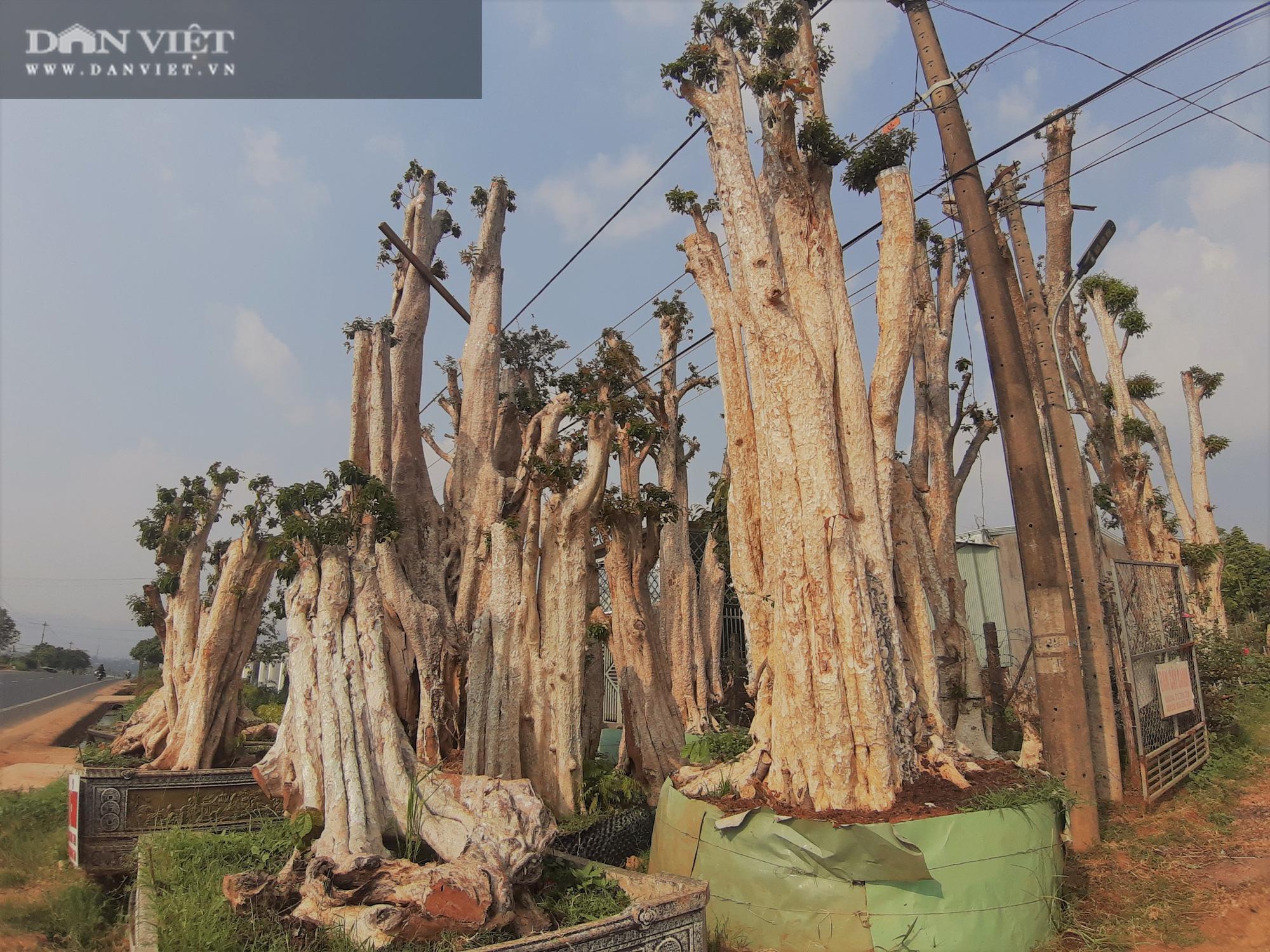 """Thủ đoạn hô biến rừng cây cổ thụ: Có thể xử lý hình sự hành vi """"bứng"""" cây cổ thụ từ rừng về nhà - Ảnh 3."""