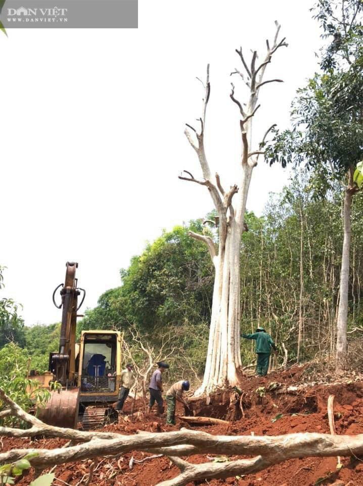 """Thủ đoạn hô biến rừng cây cổ thụ: Có thể xử lý hình sự hành vi """"bứng"""" cây cổ thụ từ rừng về nhà - Ảnh 1."""
