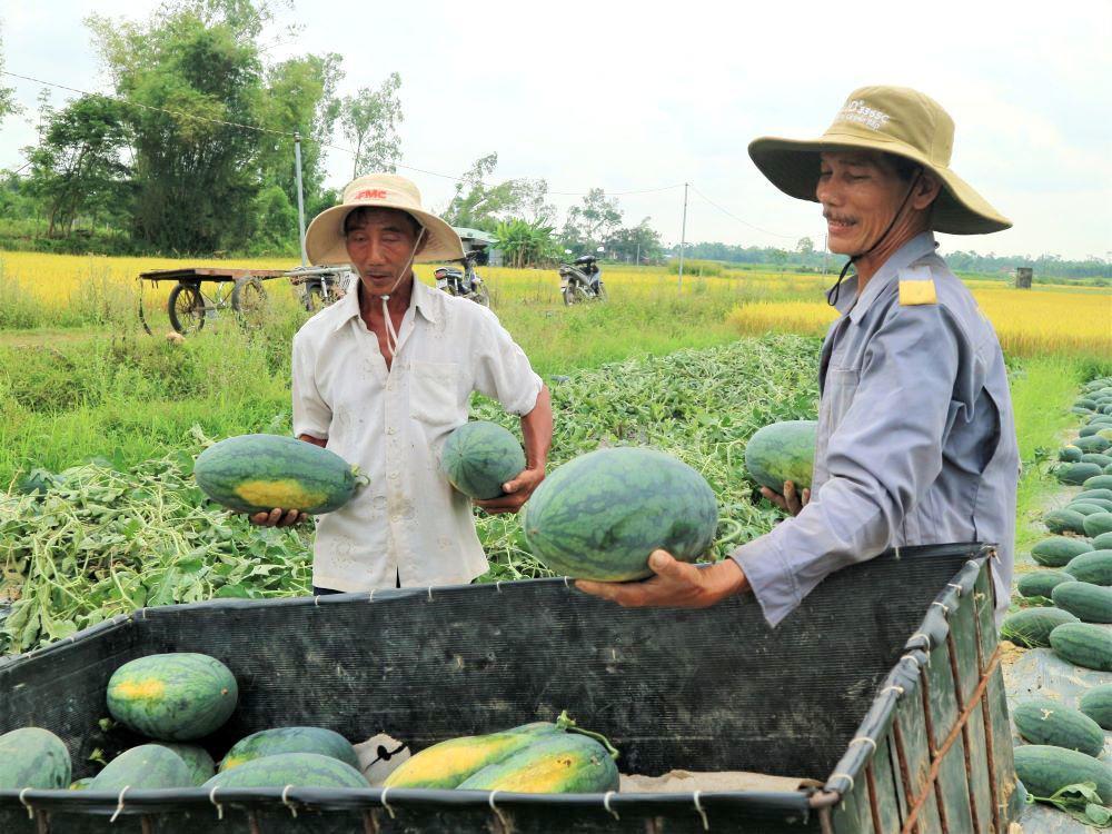 """Ở vựa dưa hấu lớn nhất Quảng Nam, nông dân thấp thỏm đứng ngồi không yên vì dưa hấu """"sáng một giá, chiều một giá"""" - Ảnh 1."""