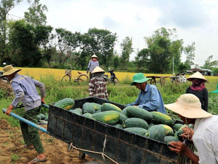 """Ở vựa dưa hấu lớn nhất Quảng Nam, nông dân thấp thỏm đứng ngồi không yên vì dưa hấu """"sáng một giá, chiều một giá"""" - Ảnh 3."""