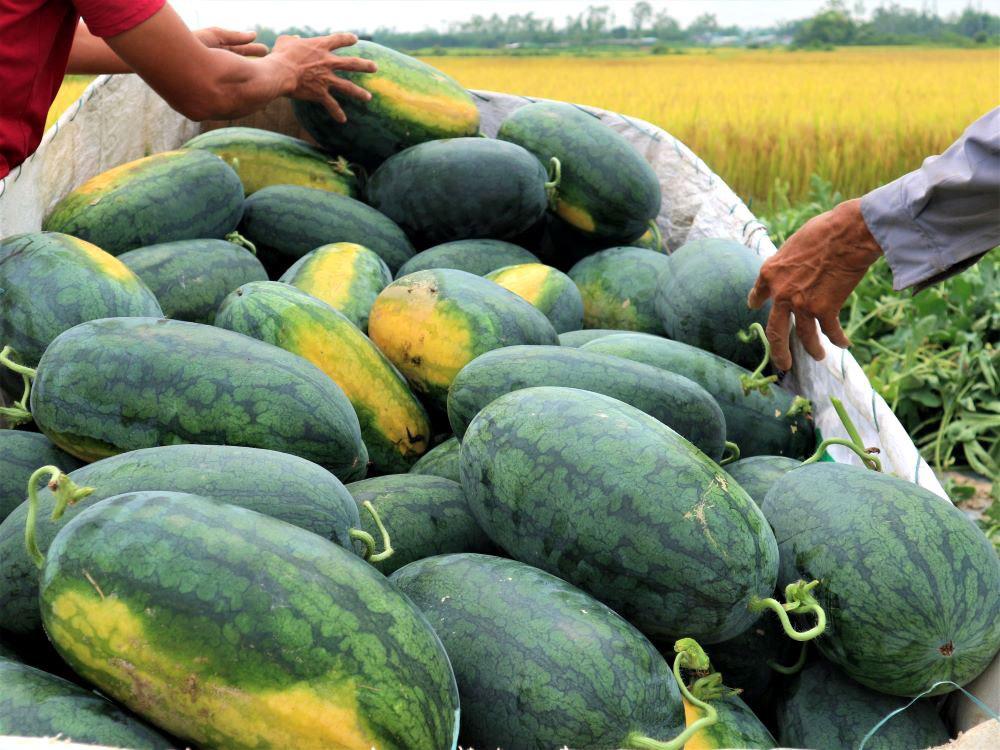"""Ở vựa dưa hấu lớn nhất Quảng Nam, nông dân thấp thỏm đứng ngồi không yên vì dưa hấu """"sáng một giá, chiều một giá"""" - Ảnh 4."""