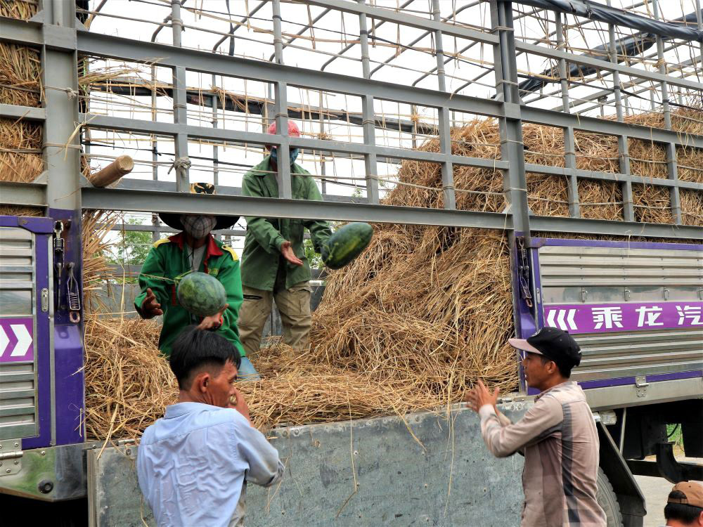 """Ở vựa dưa hấu lớn nhất Quảng Nam, nông dân thấp thỏm đứng ngồi không yên vì dưa hấu """"sáng một giá, chiều một giá"""" - Ảnh 6."""