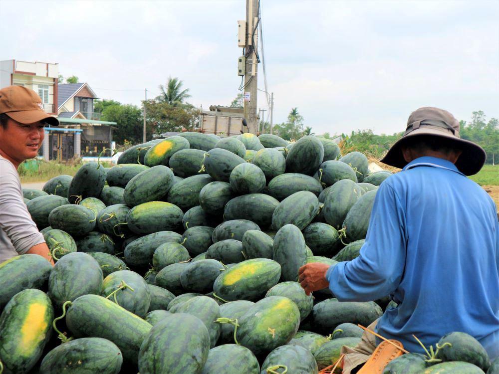 """Ở vựa dưa hấu lớn nhất Quảng Nam, nông dân thấp thỏm đứng ngồi không yên vì dưa hấu """"sáng một giá, chiều một giá"""" - Ảnh 7."""