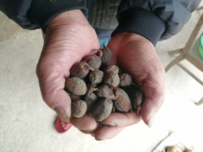 Loại cây dễ trồng, ném hạt ở đâu lên ở đó, không tốn công chăm giúp nông dân Tuần Giáo đổi đời - Ảnh 2.