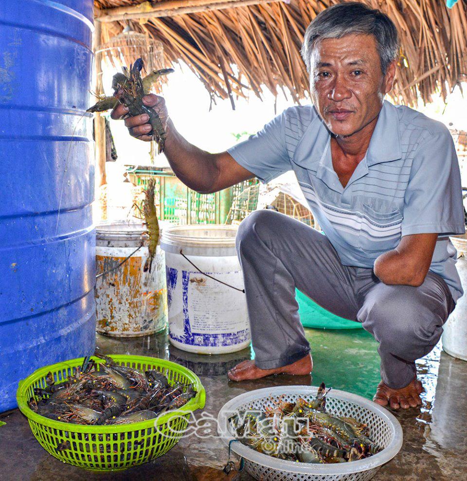 """Cà Mau: Vùng đất nông dân """"chuẩn chỉ"""" nuôi tôm thì nhà nào cũng """"ôm"""" cục tiền, có hộ kiếm vài chục triệu/tháng - Ảnh 3."""