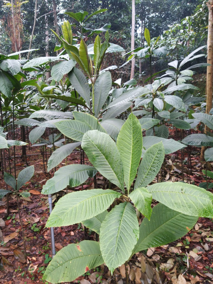 Loại cây dễ trồng, ném hạt ở đâu lên ở đó, không tốn công chăm giúp nông dân Tuần Giáo đổi đời - Ảnh 4.