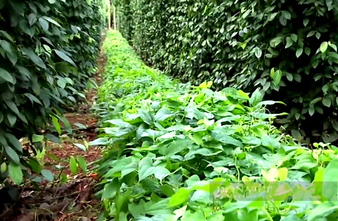 """Bà Rịa – Vũng Tàu: Cho khoai hoang dã """"kết duyên"""" với đặc sản tiêu Bầu Mây, anh nông dân giàu to  - Ảnh 3."""