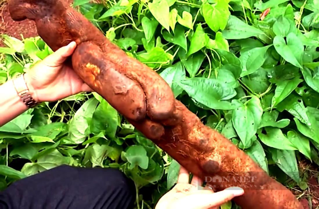 """Bà Rịa – Vũng Tàu: Cho khoai hoang dã """"kết duyên"""" với đặc sản tiêu Bầu Mây, anh nông dân giàu to  - Ảnh 4."""