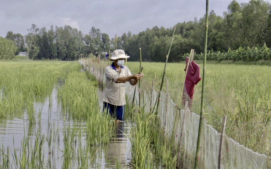Hậu Giang: Nuôi cá ruộng mùa nước nổi, đã chả phải cho ăn mà vụ lúa sau còn đỡ tiền mua phân bón