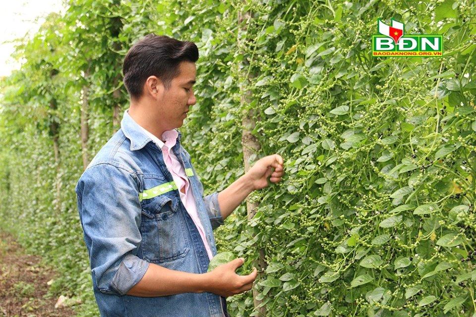 Đắk Nông: Nghỉ việc ở Đồng Nai, trai đẹp về làng trồng mồng tơi tuốt hạt phơi khô bán vô Sài Gòn - Ảnh 1.