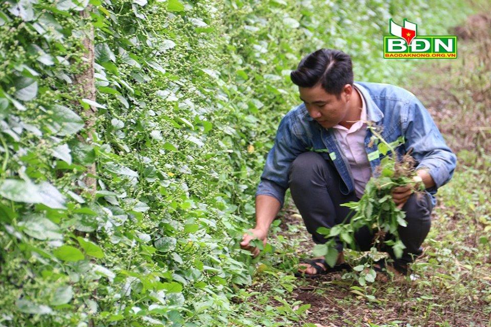 Đắk Nông: Nghỉ việc ở Đồng Nai, trai đẹp về làng trồng mồng tơi tuốt hạt phơi khô bán vô Sài Gòn - Ảnh 2.