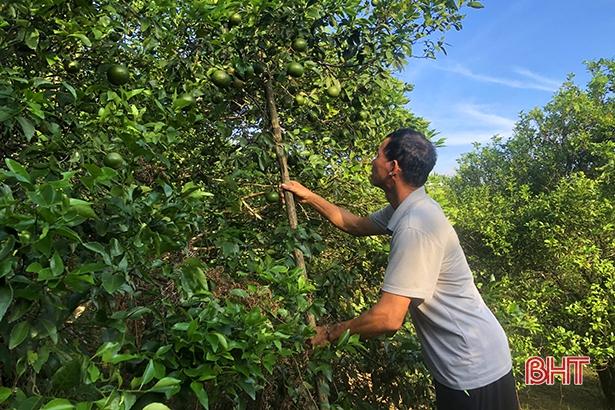 """Bão số 8 sắp đổ bộ: Nông dân Hương Sơn """"căng mình"""" bảo vệ cây đặc sản - Ảnh 3."""