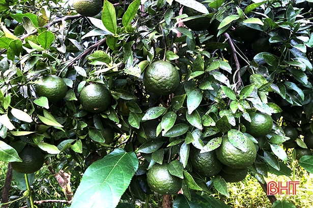 """Bão số 8 sắp đổ bộ: Nông dân Hương Sơn """"căng mình"""" bảo vệ cây đặc sản - Ảnh 5."""