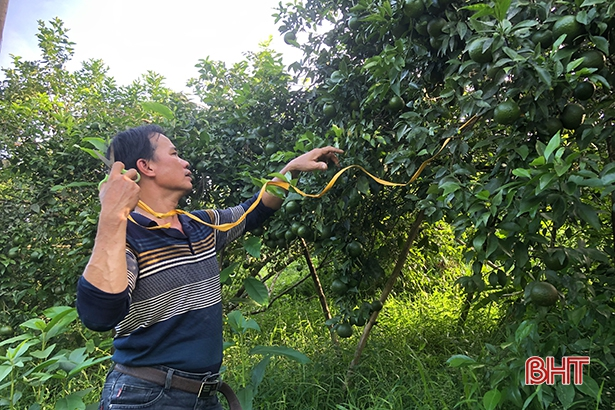 """Bão số 8 sắp đổ bộ: Nông dân Hương Sơn """"căng mình"""" bảo vệ cây đặc sản - Ảnh 6."""