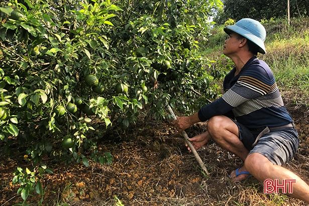 """Bão số 8 sắp đổ bộ: Nông dân Hương Sơn """"căng mình"""" bảo vệ cây đặc sản - Ảnh 2."""