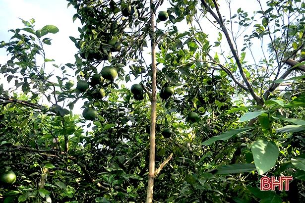 """Bão số 8 sắp đổ bộ: Nông dân Hương Sơn """"căng mình"""" bảo vệ cây đặc sản - Ảnh 1."""